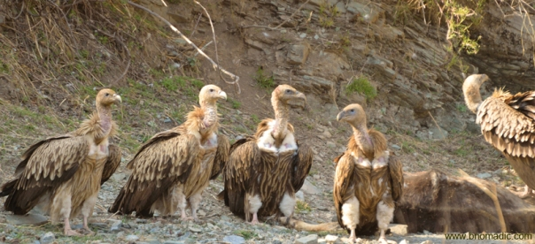 Himalayan Griffon Vultures feasting on a dead cow