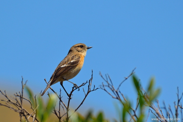 A Siberian Stonechat